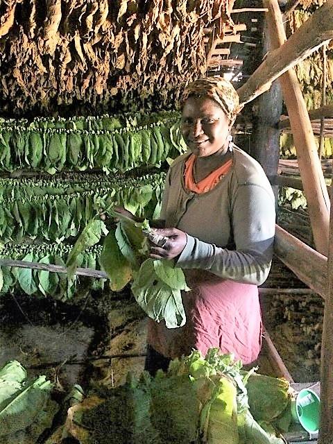 Cuba - Tobacco drying